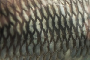 rybia łuska