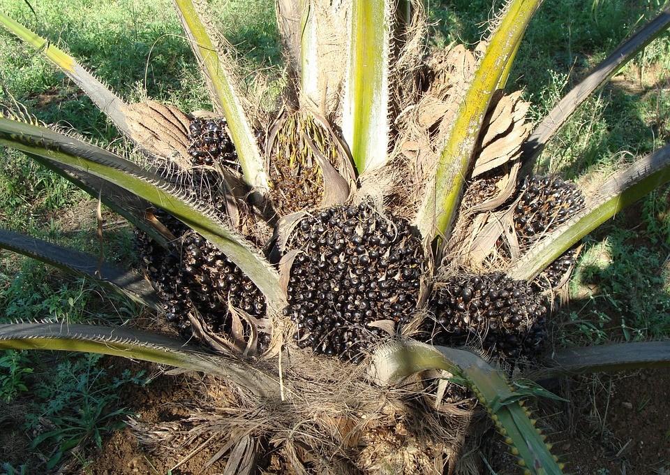 olej palmowy 1